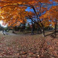 北海道大学のイチョウ並木
