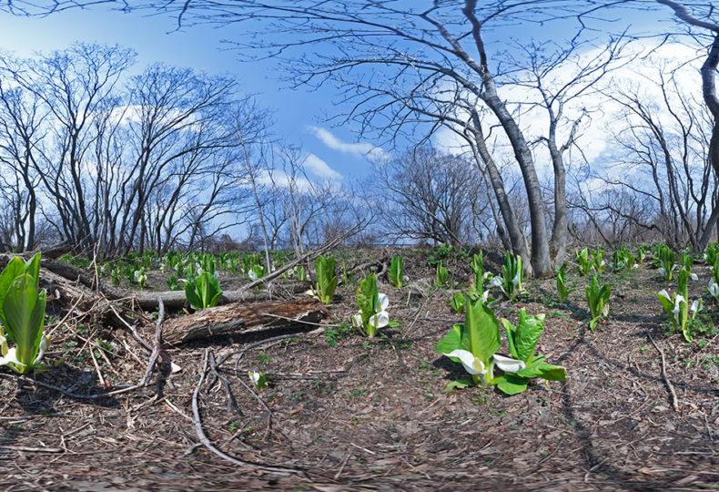 マクンベツ湿原の水芭蕉